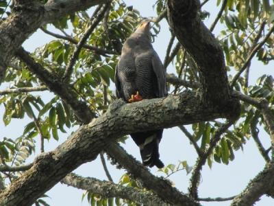 15 Days Uganda Birding, chimp & Gorilla Trekking