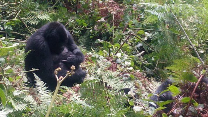 3 Day Gorilla Trekking Safari in Virunga National Park