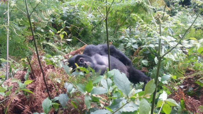 Gorilla trekking starting from Rushaga trail head of Bwindi Impenetrable national park