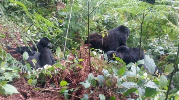 12 Day Budget Magical Rwanda, Congo Mountain Gorillas, Uganda and Nyiragongo Hike with Nyungwe Chimpanzees