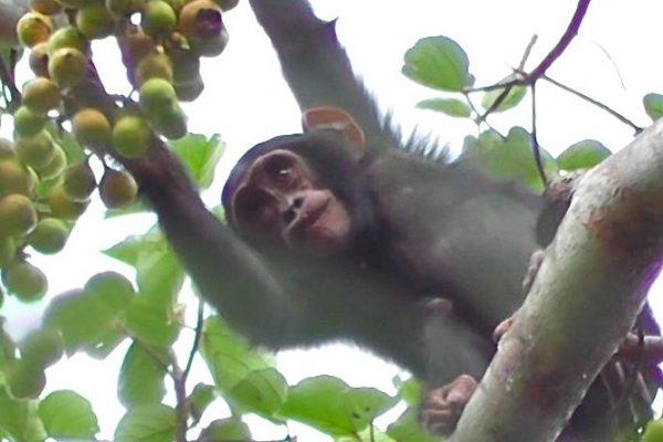 3 days Chimpanzee trekking safari to Kibale forest National Park