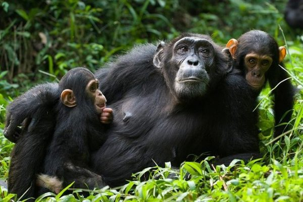 Chimpanzee Tracking in East Africa
