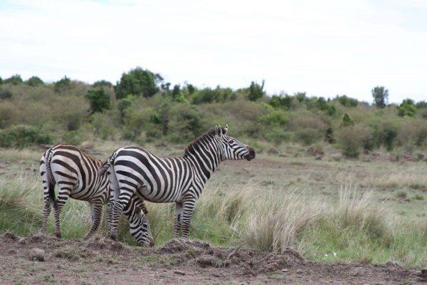6 Days Gorilla trekking and Masai Mara safari