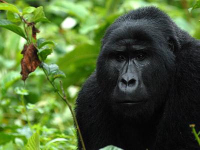 10 Days Uganda Gorilla, Chimps & Wildlife