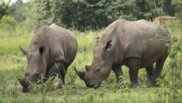 Relocation of Ziwa Rhino Sanctuary
