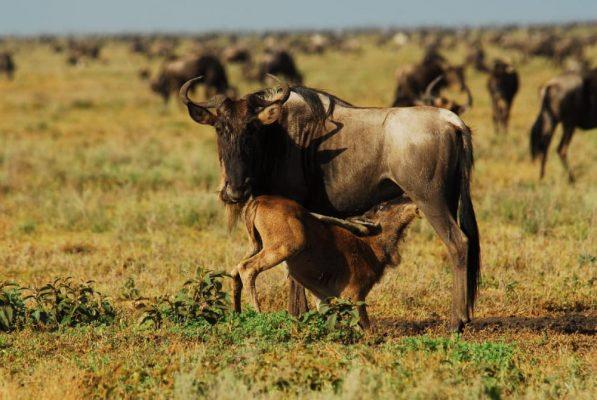 8 Day Big Cats Adventure Safari - Tanzania