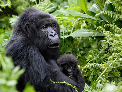 7 Days Rwanda Chimps and Gorillas