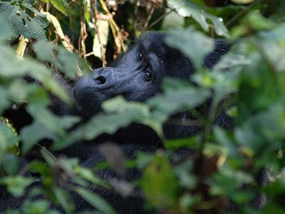 The 5 Days Uganda/Rwanda Gorilla Trekking
